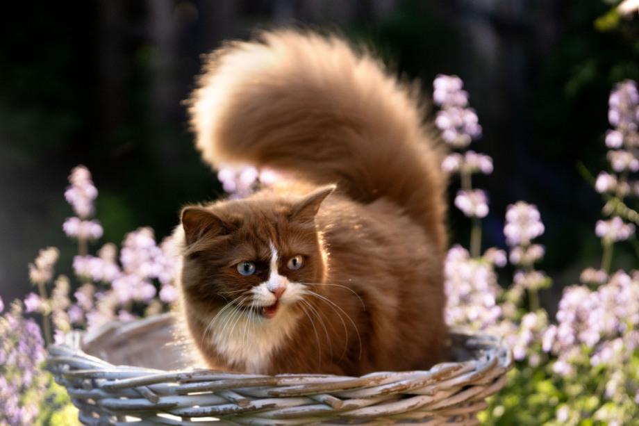 Deutsch Langhaarkitten, Deutsch Langhaarkatze, süßestes Kitten der Welt, German Longhair cat, DLH, GLH
