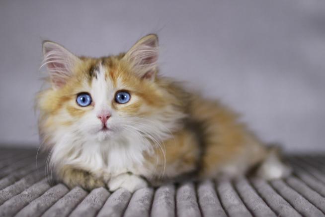 rote Katze mit blauen Augen