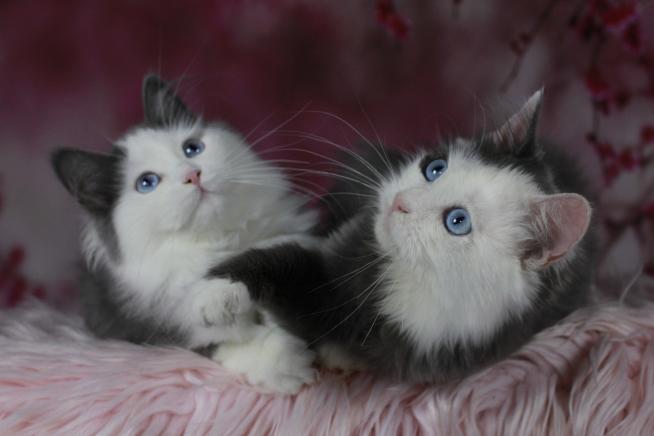 Katzen mit blauen Augen