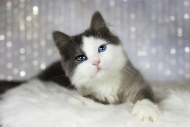blaue Katze mit blauen Augen