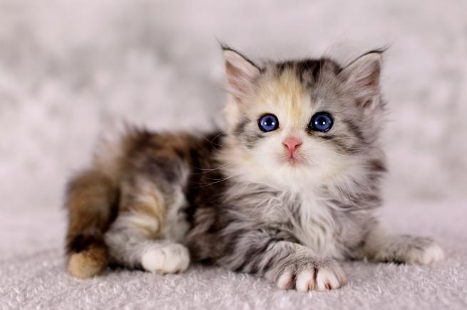 Bunte Katze  mit blauen Augen, Glückskatze  mit blauen Augen