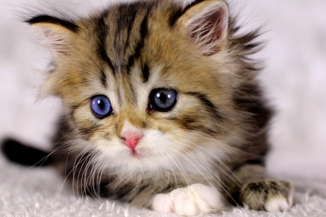 Katzenbaby mit Odd eyes, Katzenbaby mit verschiedenfarbenen Augen, DLH