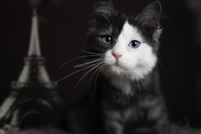 Schwarze Katze mit blauen Augen, black cat with blue eyes