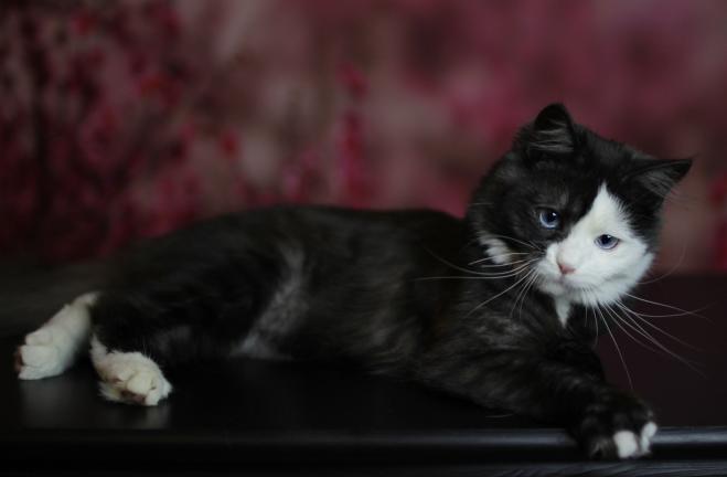 Schwarze Katze mit blauen Augen