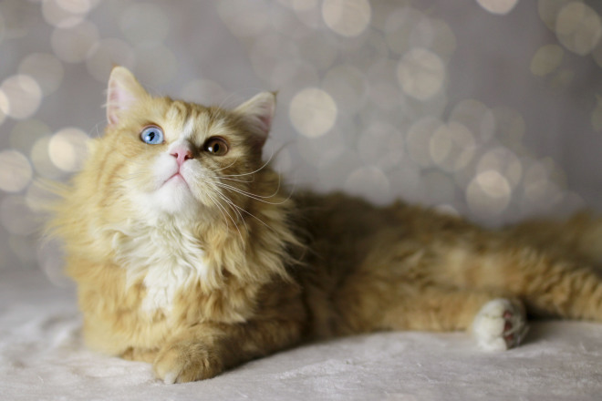 Rote Katze mit blauen Augen, rote Katze mit odd eyes, red cat with blue eyes