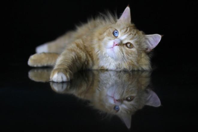 rote katze mit odd eyes, rote katze mit blauen augen, rote katze mit odd eyes, red cat with blue eyes
