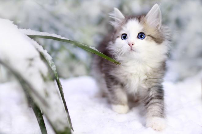 Katze Odd eyes